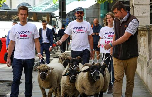 英国硬脱欧或提前 英国农民牵着羊群聚集抗议