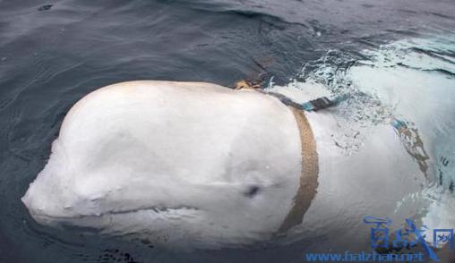 白鲸海中捡手机送回
