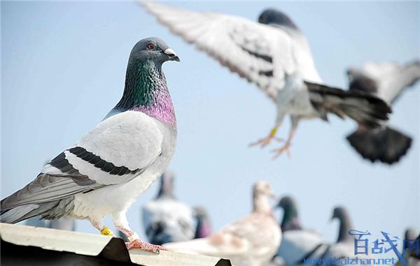 警方给鸽子开罚单