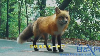 武大用小狐狸代言