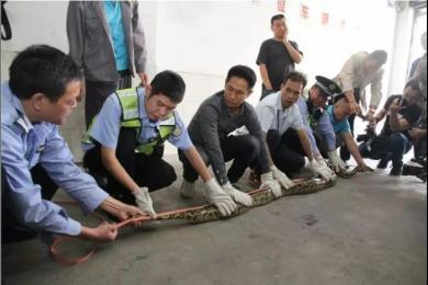 佛山商铺天花板掉下大蟒蛇 藏身10年重约40斤!