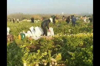 200亩萝卜被拔光,一条网络谣言让菜农血本无归