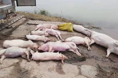 湖南常德一河流漂浮大量死猪 水务公司检测水质竟合格?