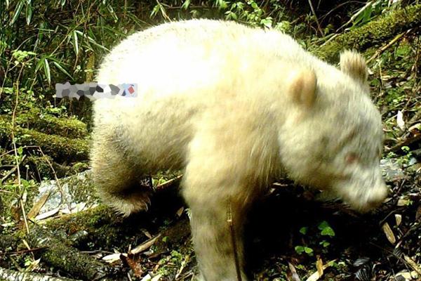 """白色大熊貓被發現后 人們見到了這位""""寶中之寶"""""""
