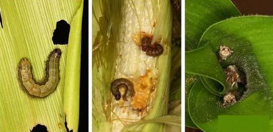 飛蛾入侵我國18個省份,草地貪夜蛾將威脅玉米產區