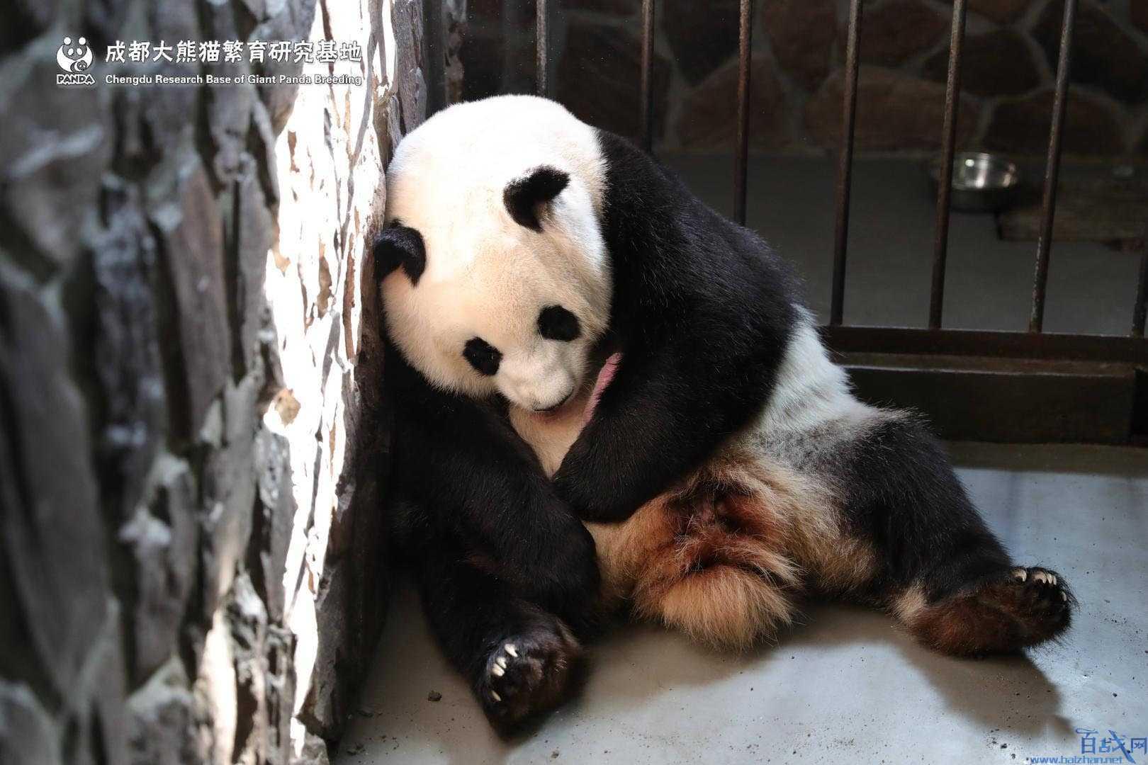 圈養大熊貓出生,2019首只圈養大熊貓出生,大熊貓