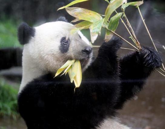 日本动物园提供熊猫粪便给游客闻,2岁的国宝香香快要回国了