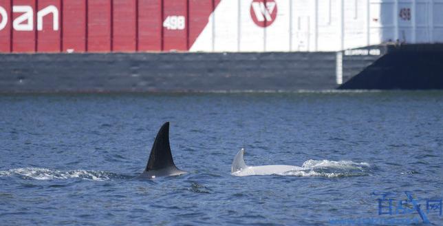加拿大目击到白化虎鲸,目击到白化虎鲸,白化虎鲸