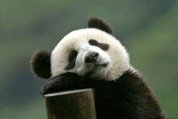 """首个大熊猫国际形象""""阿璞""""曝光 A PU来自UP音译?"""