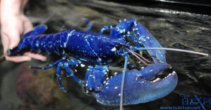 餐厅发现蓝色龙虾,美国餐厅发现蓝色龙虾,蓝色龙虾