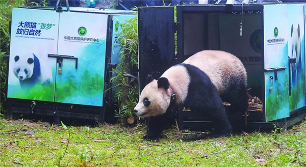 """放归大熊猫""""张梦""""再度现身,状态良好已成功适应野外环境"""