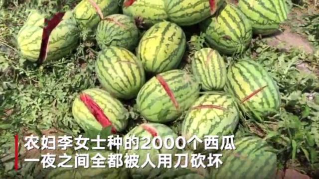 2000个西瓜被砍烂,村民西瓜被砍烂,道德的沦丧还是人性的扭曲