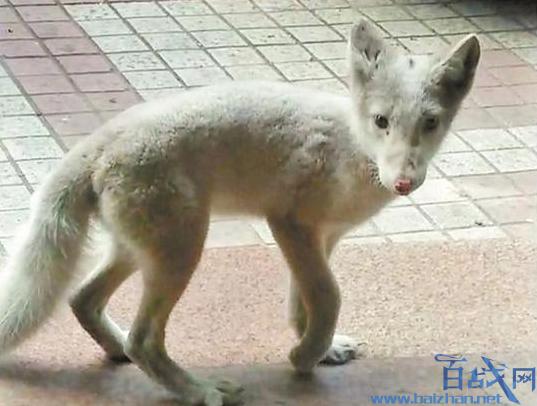 深圳罗湖区现北极狐,深圳罗湖区北极狐,深圳北极狐