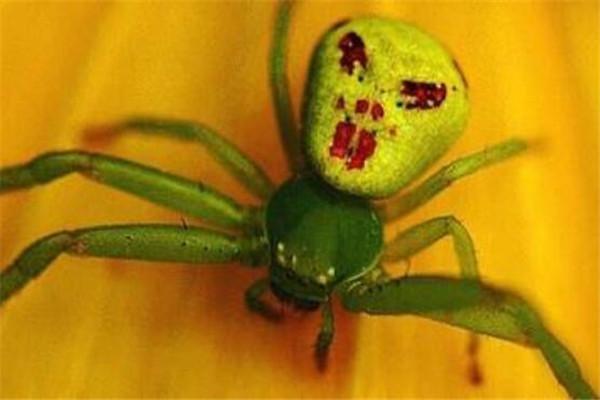 人脸蜘蛛,人面蜘蛛