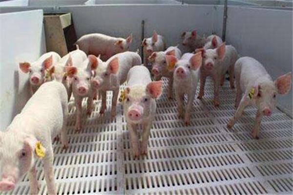 下半年猪肉涨价究竟是怎么回事?受非洲猪瘟疫情影响猪肉产能下降