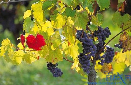 法国葡萄产量五年新矮,法国葡萄减产,法国葡萄产量