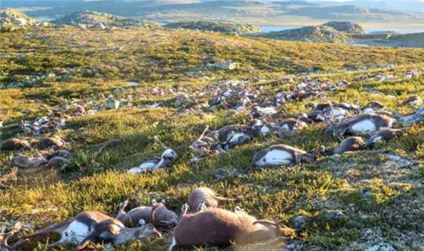 北极驯鹿饥饿而死,气候变化正在急剧影响地球的生态