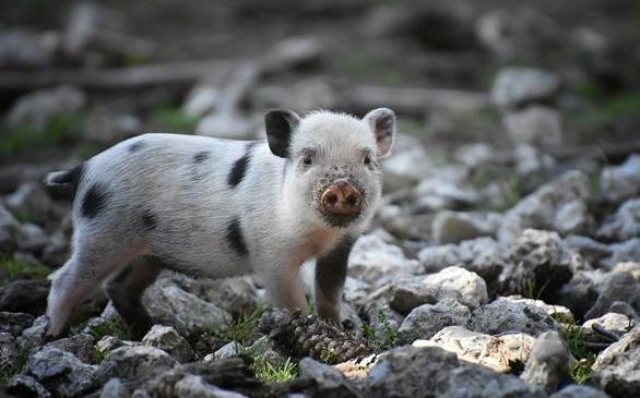 猪心或用于人类心脏移植,为什么偏偏会是猪呢?