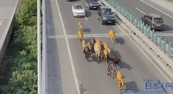 26头牛高速遛弯,牛群高速路遛弯,温州高速路现牛群