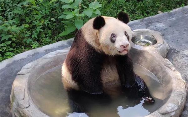 """大熊猫""""新星""""迎来37岁生日,相当于人类的百岁老人"""