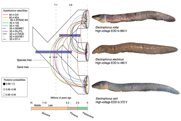 新型电鳗,电鳗,科学家发现新型电鳗,瓦氏电鳗,伏打电鳗