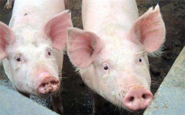 日本猪瘟疫情,日本关东猪瘟疫情,日本猪瘟