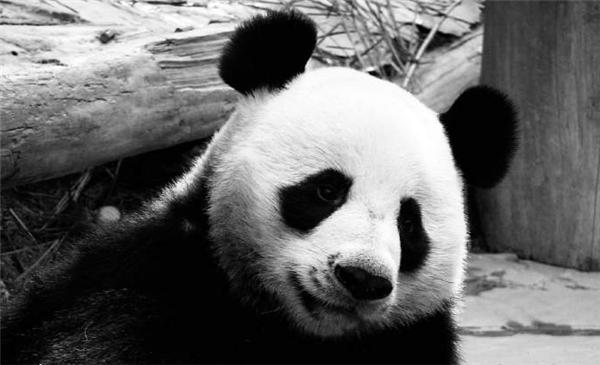 旅泰大熊猫创创离世,大熊猫创创不幸身亡,大熊猫创创