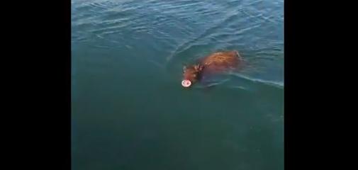野猪海里游泳被拍,野猪海里游泳,野猪怎么游泳的