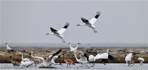 白鹤成为江西省鸟,白鹤成江西省鸟,江西省鸟