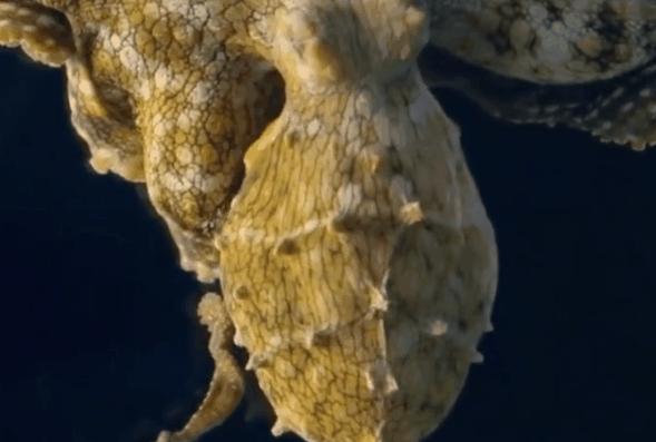 科学家拍罕见画面,章鱼变成金色,章鱼做梦