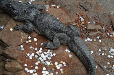 鳄鱼胃内百枚硬币,鳄鱼胃内现百枚硬币,鳄鱼胃内硬币