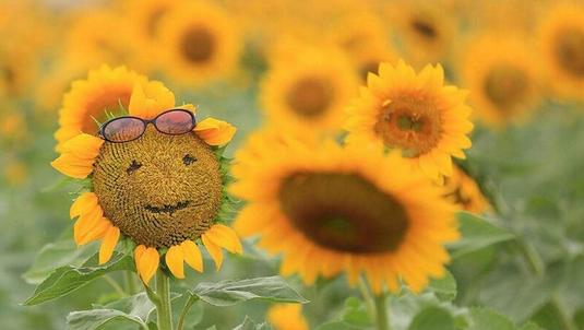 向日葵抠成表情包引围观,村民见了欲哭无泪