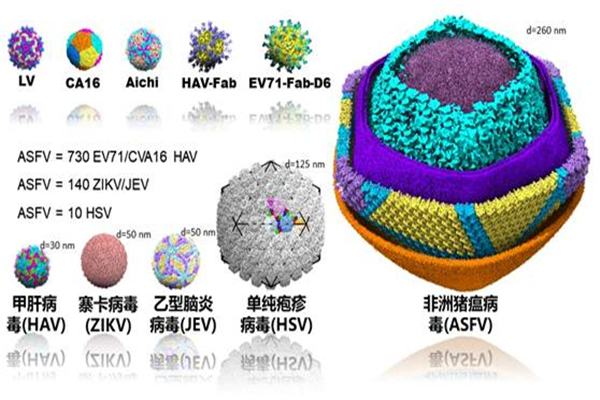 中国成功解析非洲猪瘟病毒 非洲猪瘟病毒整体结构曝光