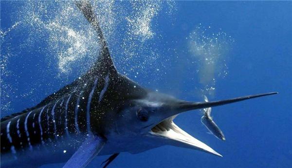 世界上速度最快的鱼,在水中时速高达109公里
