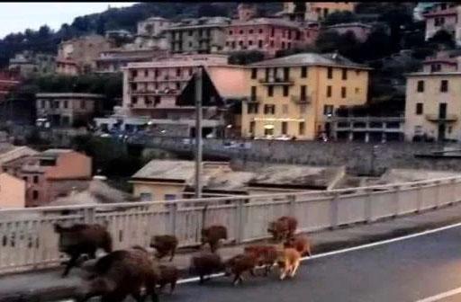 意大利野猪泛滥追人跑 网友:还不出口中国?
