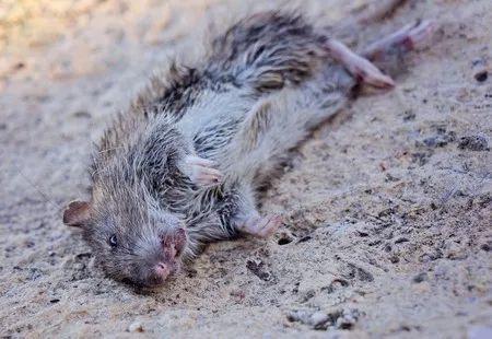 出现鼠疫怎么办?如何预防鼠疫感染?