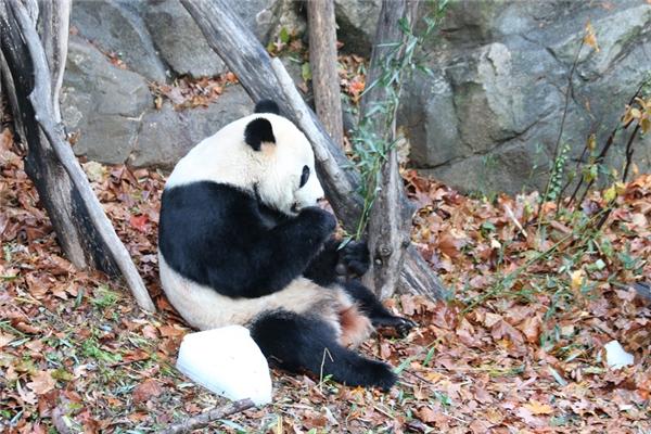 旅美大熊猫回国是怎么回事 旅美大熊猫回国原因曝光