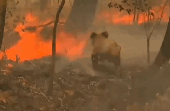 上千考拉葬身火海,澳大利亚山火肆虐严重破坏生态