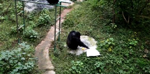 猩猩给饲养员洗衣,猩猩帮饲养员洗衣服,猩猩饲养员