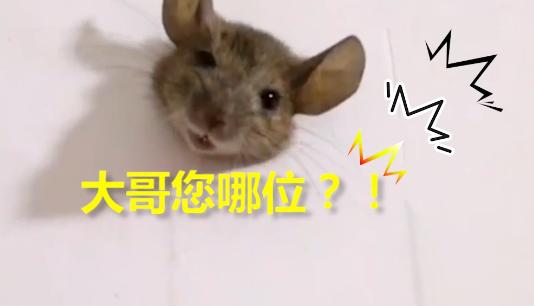 老鼠太胖被卡墙上,是四川的伙食太好了?