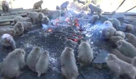 猴子集体吃烤地瓜,猴子吃烤地瓜,日本猴子吃烤地瓜