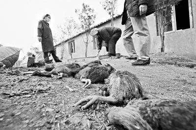 246只土鸡被吓死是真的吗?人都有可能吓死何况胆小鸡