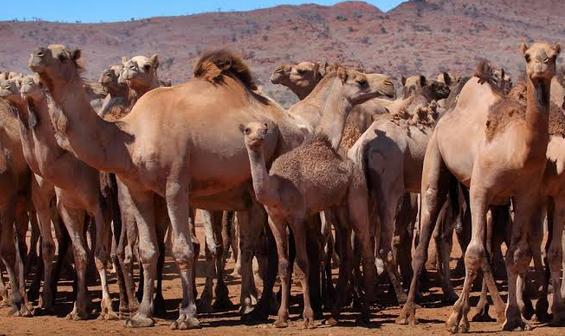 澳大利亚射杀骆驼