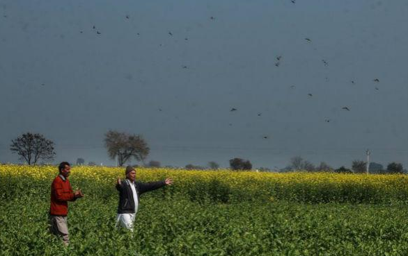 印度蝗灾已基本结束,6月仍可能出现更严重灾害