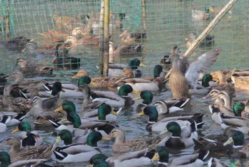 10万鸭子出征灭蝗,10万鸭子灭蝗虫,鸭子灭蝗虫