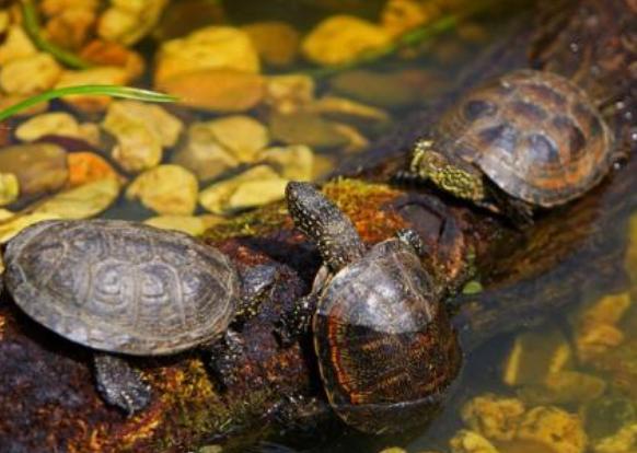 研究发现龟类或为潜在宿主,病毒可能感染龟类并演化后传染人类