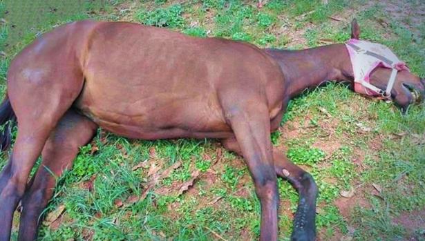 泰国出现非洲马瘟疫情,已有超过13头马感染死亡
