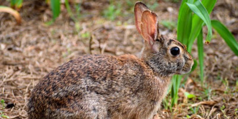 美国兔群爆发致命病毒,或将迅速蔓延至整个北美