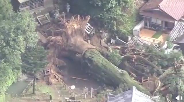 日本千年神树倒地连根拔起 树龄超过1200岁
