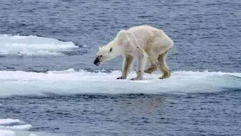 北极熊或将在21世纪内灭 �@十�字谎��F也并不是�y攻�艟�,全球气候变暖令其面临繁衍困境